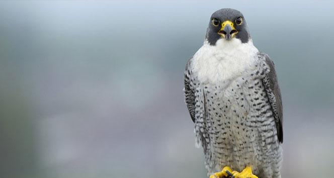 Dünyanın en hızlı uçan kuşu hangisidir?