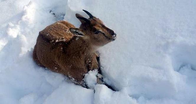 Yaban keçisi donarak öldü