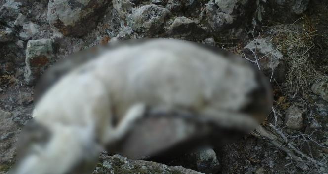 Afyonkarahisar'da köpek katliamı iddiası
