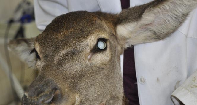 Kızıl geyiğe ikinci katarakt ameliyatı