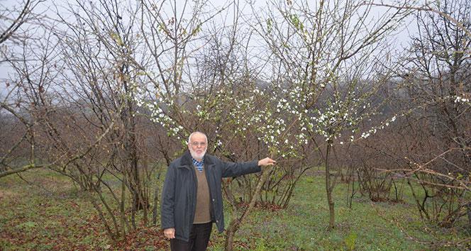 Erik ağacı Şubat ayının ortasında çiçek açtı