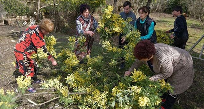 Abhazya'dan Rusya'ya rekor mimoza satışı