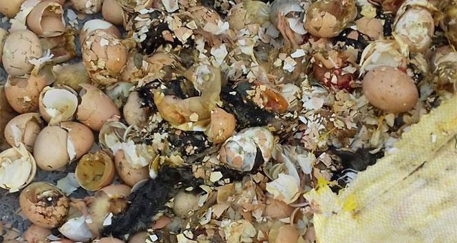 Çöpe atılan yumurtalardan civciv çıktı!