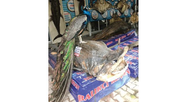 Tavus kuşu ve köpek balığı bir arada