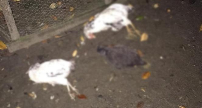 Zonguldak'ta 3 günde 50 tavuk telef oldu