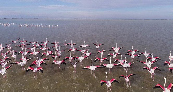 Göçmen kuşların kışlık mekanı Çukurova Deltası flamingolarla renklendi