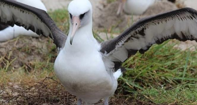 Dünyannın en yaşlı Albatrosu 68 yaşında ve hala her yıl bir yavru yetiştiriyor