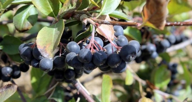 'Aronia' meyvesi keşfedilmeye devam ediyor