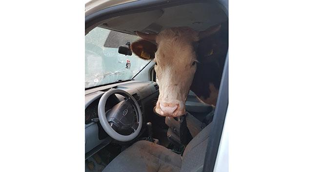 Çaldıkları ineği hafif ticari araca sığdırdılar