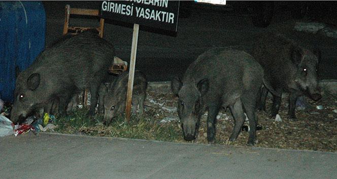 Bodrum'da odun toplayan gence domuz saldırdı