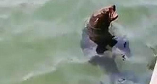 Akdeniz foku Bodrum'da görüntülendi