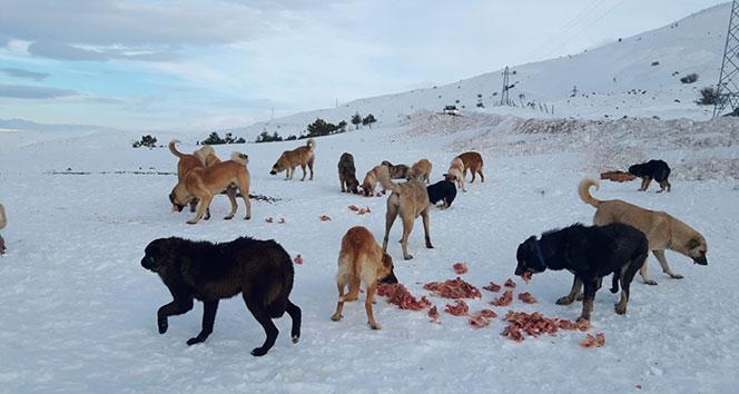 Elmadağı'nın doruğundaki 60 köpeğe ulaşılamıyor