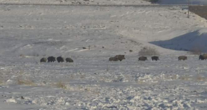 Domuz sürüsü köye indi