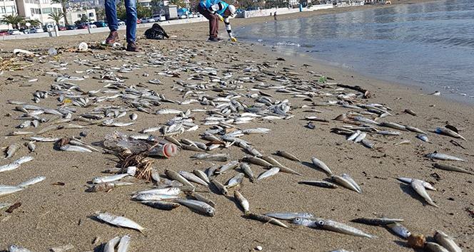 Alanya'da telef olmuş binlerce balık sahile vurdu