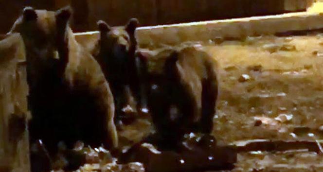 Kış uykusundan uyanan ayıların meraklı vatandaşlarla imtihanı