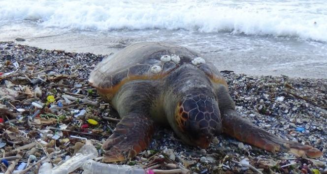 Dev Caretta Caretta ölüsü sahile vurdu
