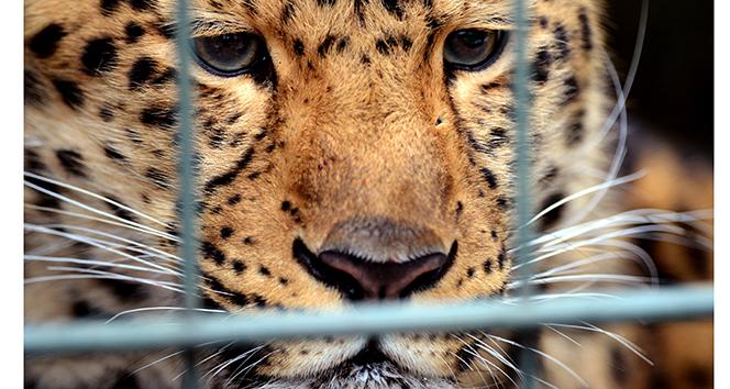 Ulusal parkta leopar dehşeti: 1 ölü