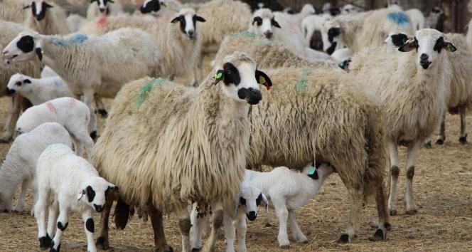 Altız kuzular bereket getirdi, tam 3 bin 650 kuzu doğdu