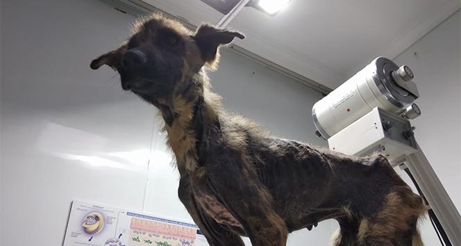 450 kilometre yol gelip, iki köpeği ölmek üzereyken kurtardılar