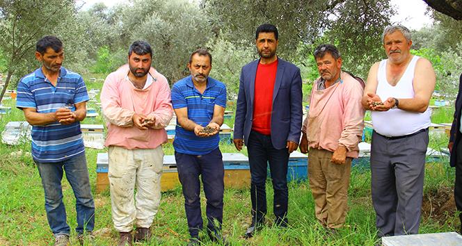 Aydın'da arıcılar şok yaşadı, binlerce arı çırpına çırpına telef oldu