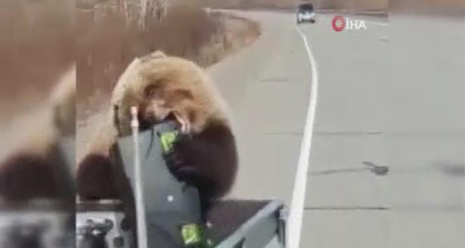 Rusya'da bir ayı kamyonet kasasından alet çantası çaldı