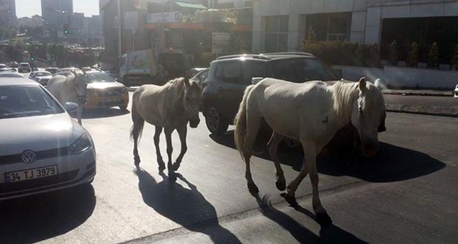 Trafikte başıboş atlar sürücüleri şaşkına çevirdi
