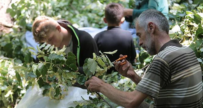 Türkiye'nin en büyük ıhlamur ormanlarında hasat başladı