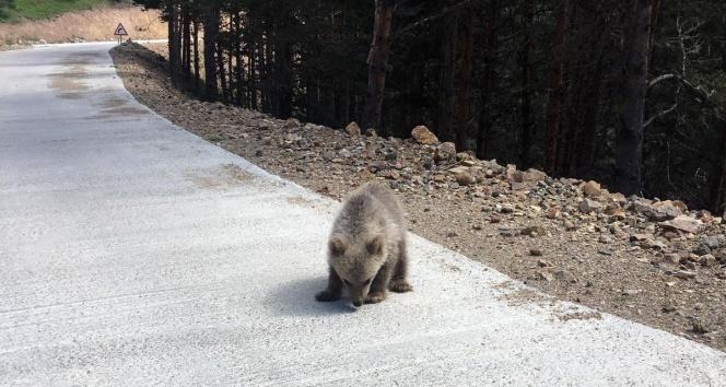 Yavru ayı yola indi, Arap turistler şaştı kaldı