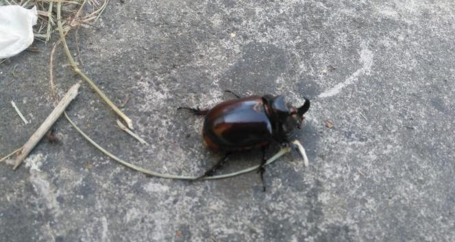 Kastamonu'da gergedan böceği bulundu