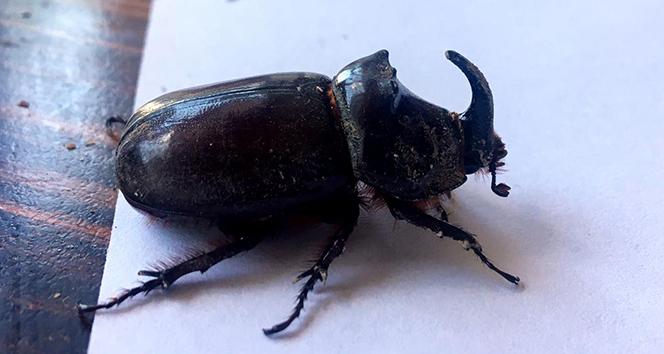 Erzurum'da gergedan böceği bulundu