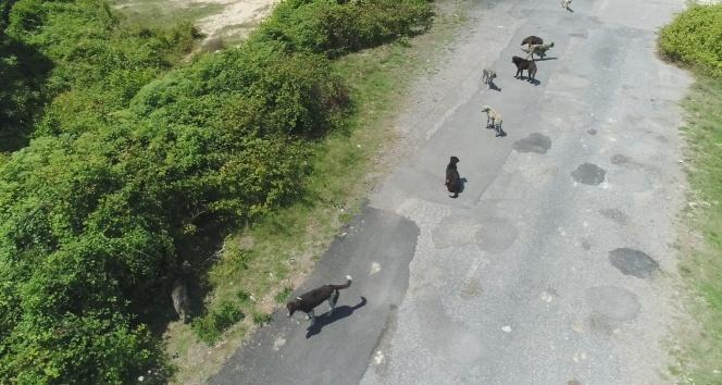 İstanbul'da binlerce başıboş köpeğin adeta istila ettiği köy havadan görüntülendi