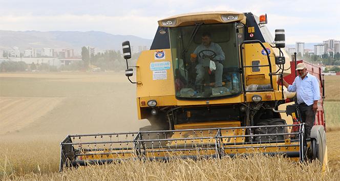 Sivas'ta buğday hasadı yüz güldürmedi