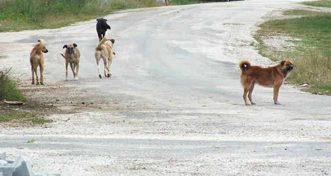 Köy sakinleri sokak köpeklerinden dertli