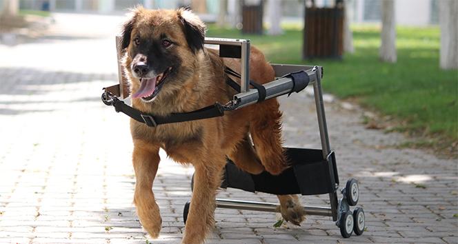 Vestel'in engelli hayvanları hayata bağlayan yürüteç projesine İngiltere'den ödül geldi