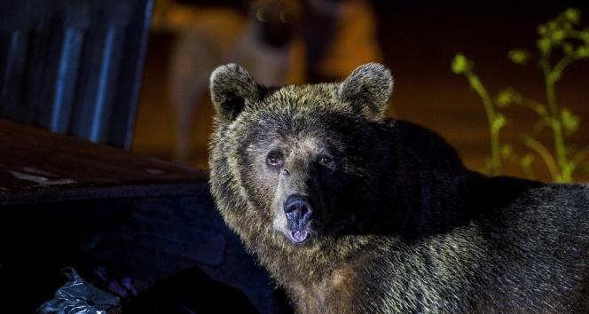 Uludağ'da yiyecek bulmak isteyen ayılar yerleşim bölgesine indi
