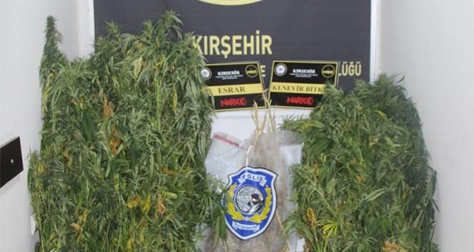 Kırşehir'de 342 kök hint keneviri ele geçirildi
