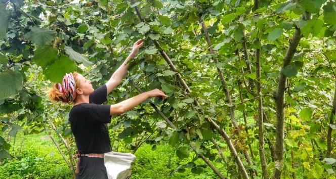 Fındık hasadında böcek ısırmalarına dikkat