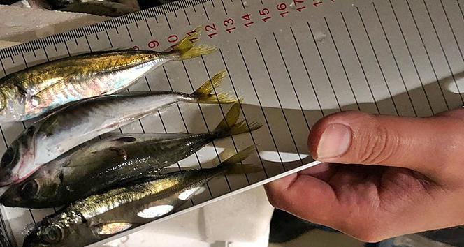 Gürpınar Su Ürünleri Hali'nde boy ölçülerine uymayan 6.5 ton balığa el konuldu