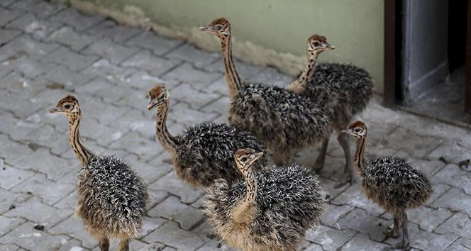 Bursa Hayvanat Bahçesi'nde 6 devekuşu yavrusu dünyaya geldi