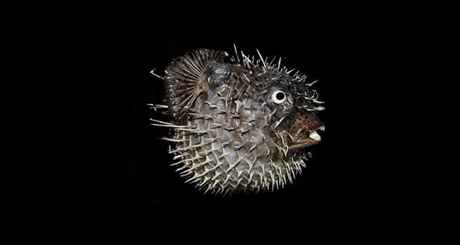 Balon balığı tehdit değil kansere ilaç olacak