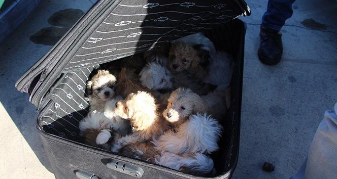 Kapıkule'de yolcu valizinden 14 köpek yavrusu çıktı