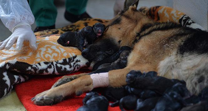 Mersin'de bir köpek sezaryenle 16 yavru doğurdu