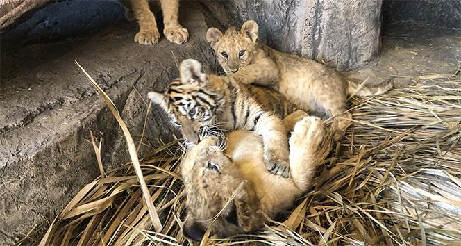 Çocuklar, sömestr tatilinde aslan ve kaplan yavrularını sevme fırsatı bulacaklar
