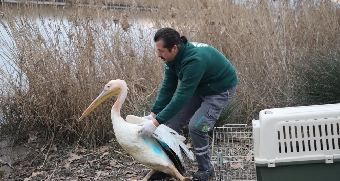 Nesli tükenme tehlikesi altında olan yaralı ak pelikan tedavi edildi