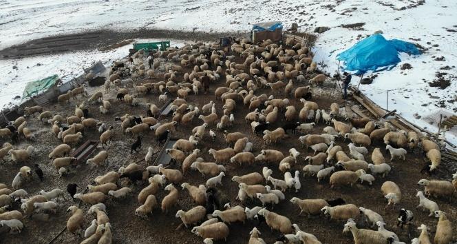 Elazığ'da kuzuların anneleriyle muhteşem buluşması.