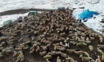 Elazığ'da kuzuların anneleriyle muhteşem buluşması