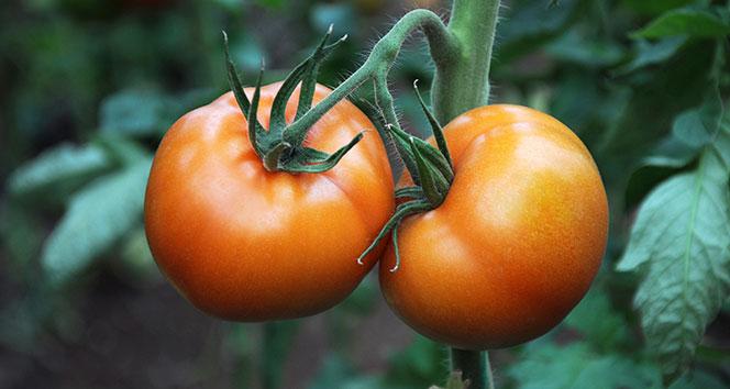 Korona virüs domatesin kilosunu 1 liraya düşürdü