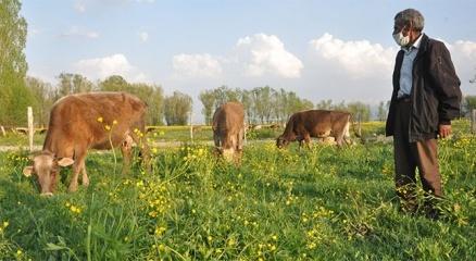 Mehmet amcaya 2 inek ve 2 buzağı hediye edildi