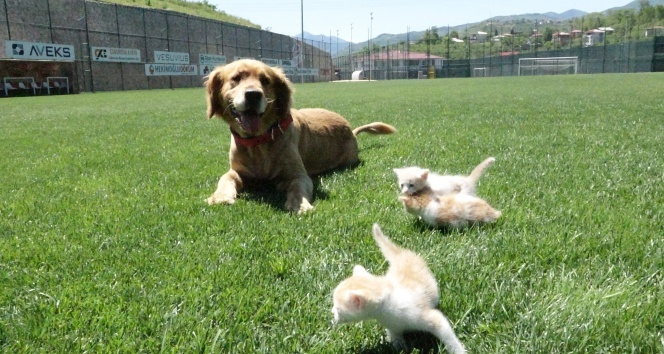 Kedi yavrularına annelik yapıyor