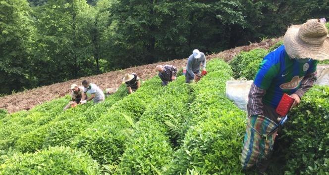 Koronavirüse yakalanan köylülerinin çayını imece ile topladılar
